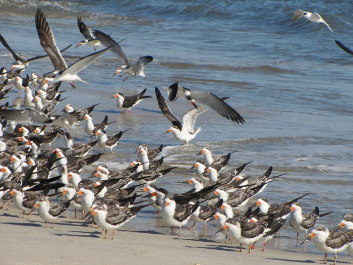 Skimmers at Cape May, NJ, October 23, 2012