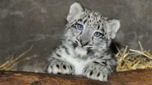Snow Leopard Cub, age 3 months