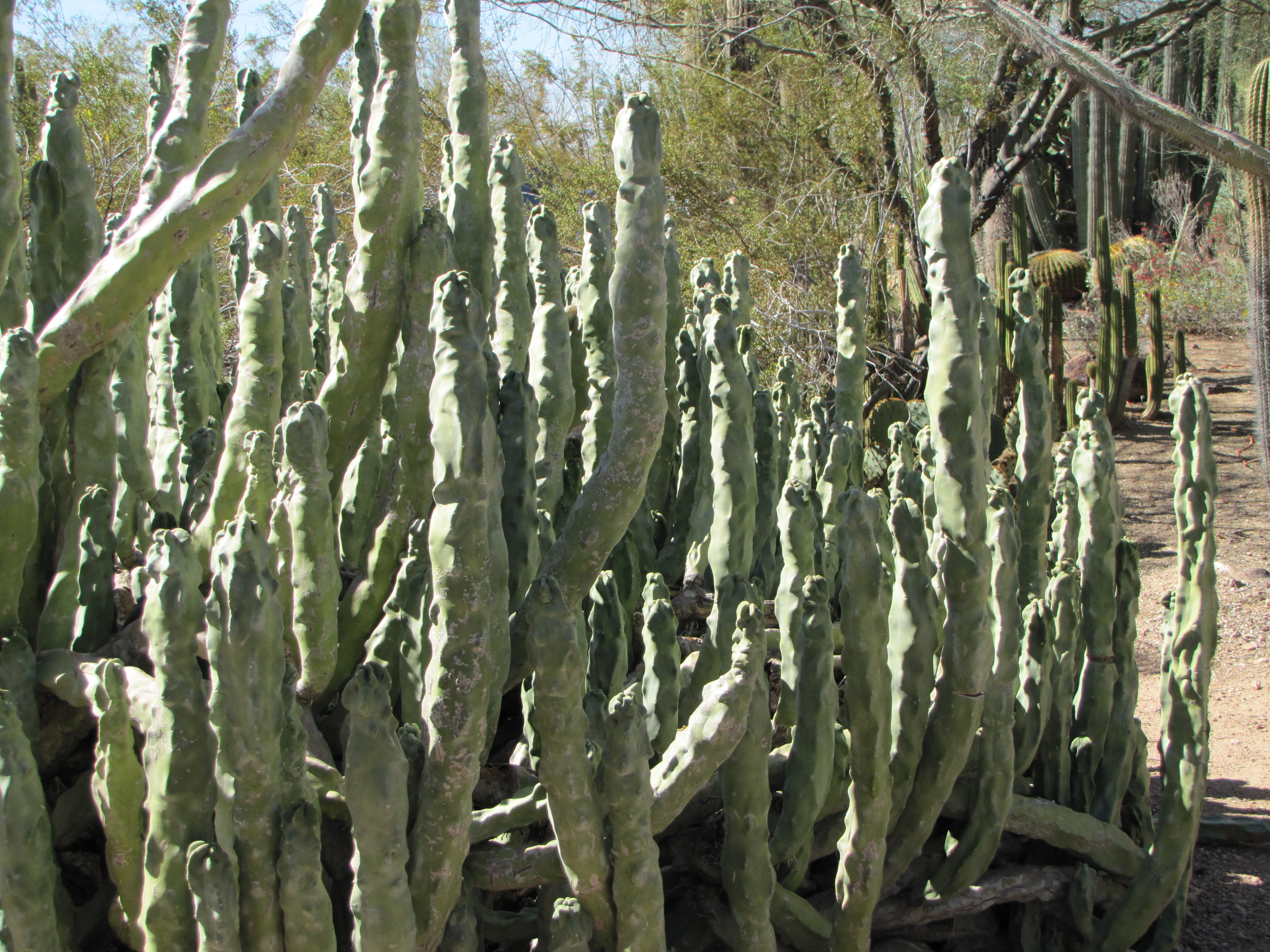 Forest of Cacti!