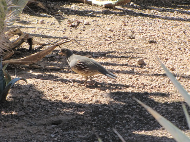 Quail foraging under the agave