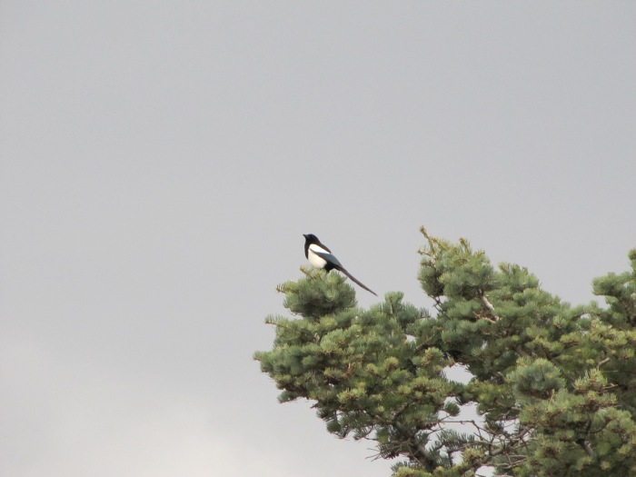 Magpie at Garden of the Gods