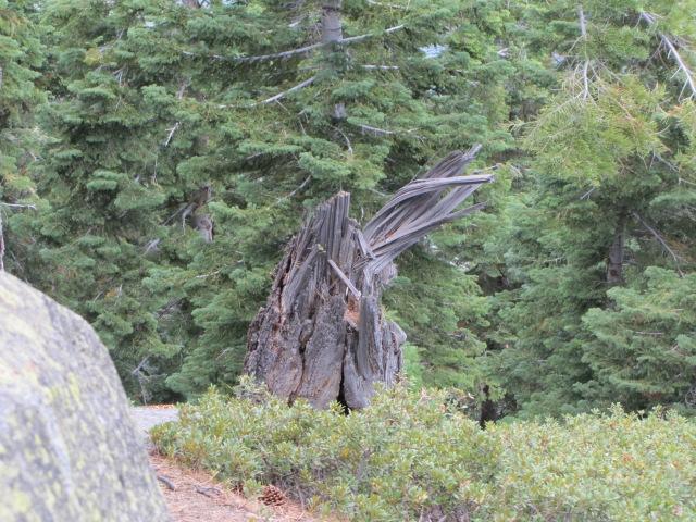 Twisted tree-Tahoe overlook