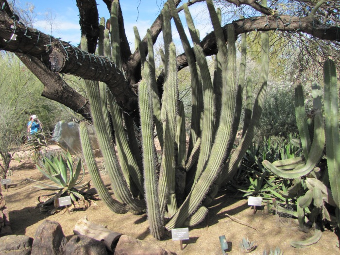 Cactus embracing tree