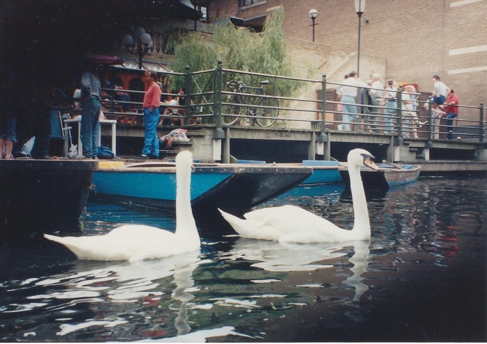 Swans on the River Cam in downtown Cambridge