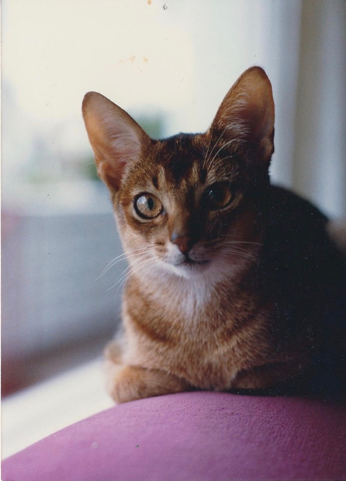 Veloce, purebred Ruddy Abyssinian