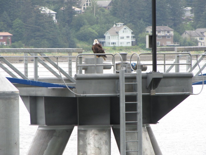 BaldEagle-Juneau