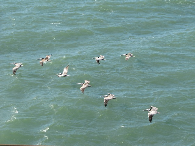 PelicansInFormation