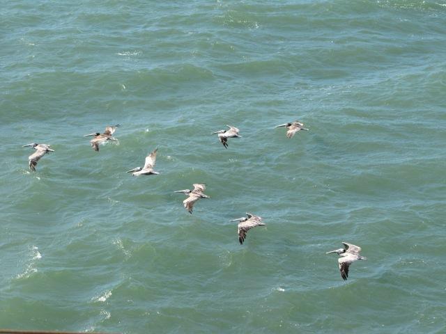 PelicansInFormation