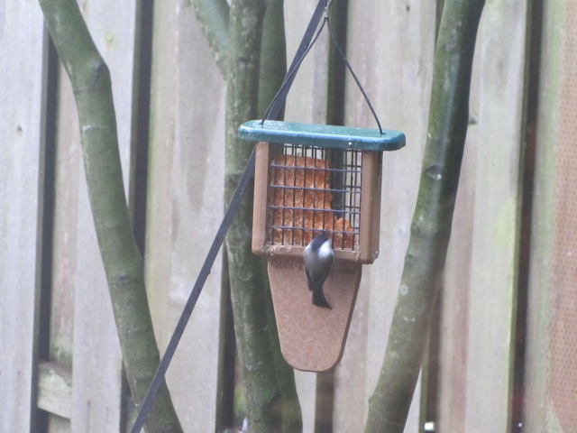 Chickadee at suet feeder