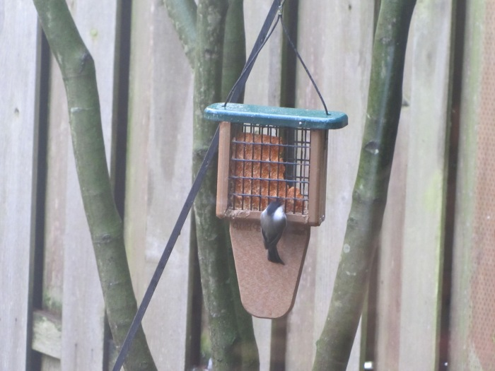 Chickadee at suet feeder