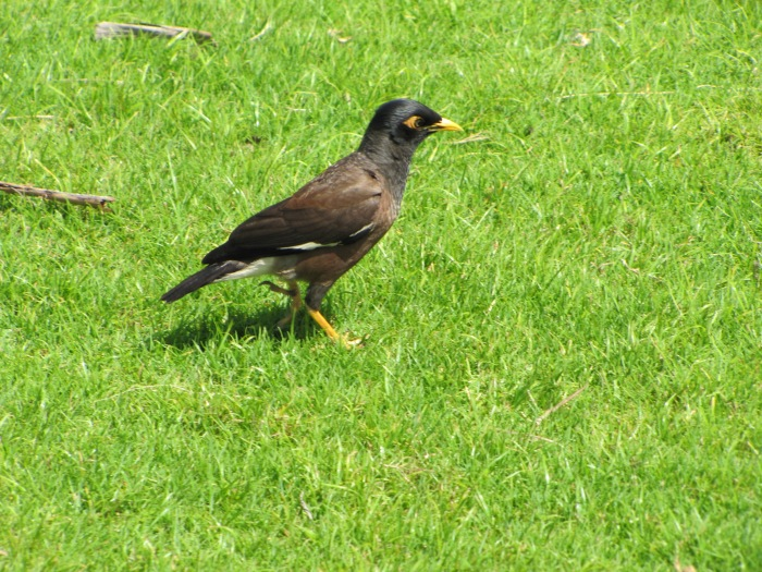 CommonMynah