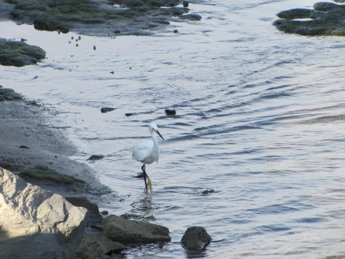 Egret-Mexico