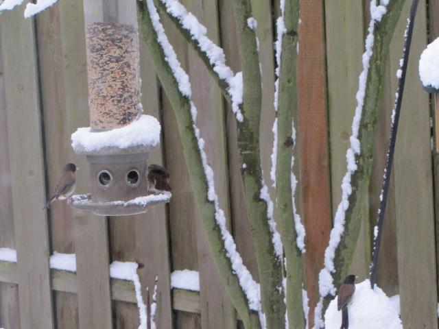 junco-sparrow