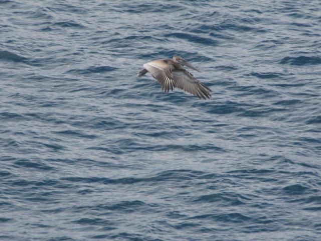 Pelican-Mexico