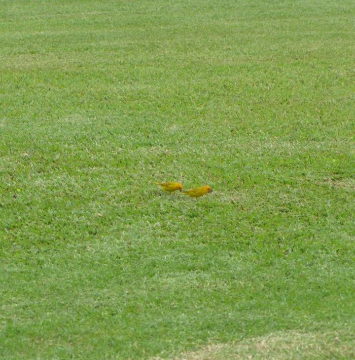 Saffon Finches