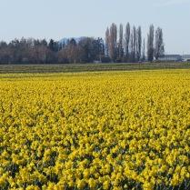 Mar-Daffodils