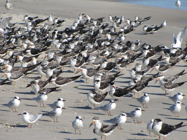 terns and Skimmers