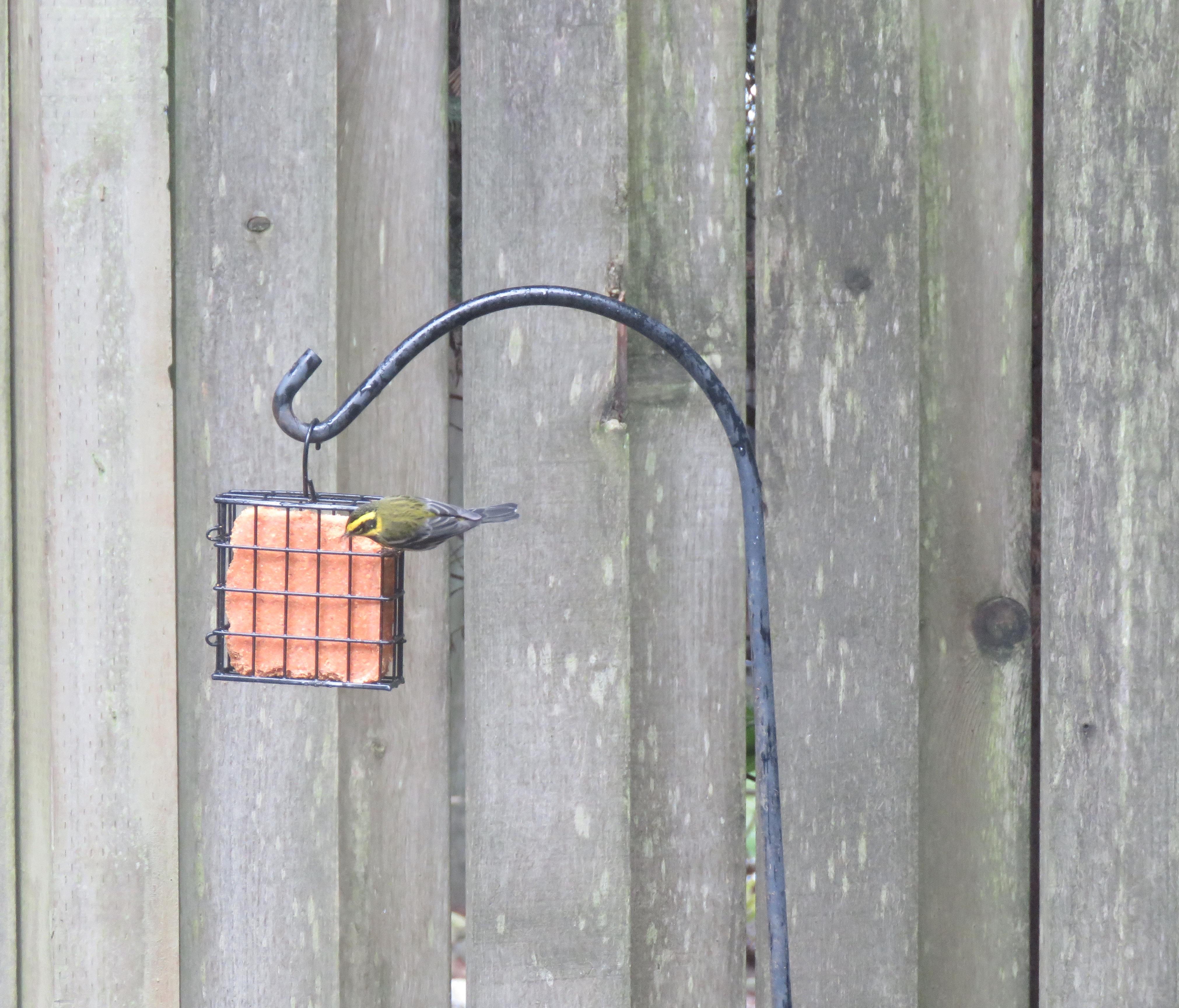 Warbler-check2