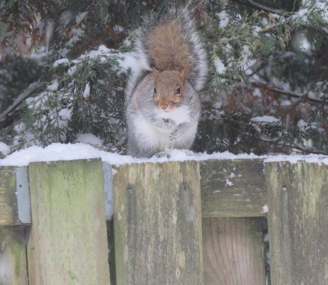 Squirrel-fence1