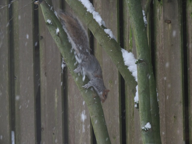 SquirrelClimsDown