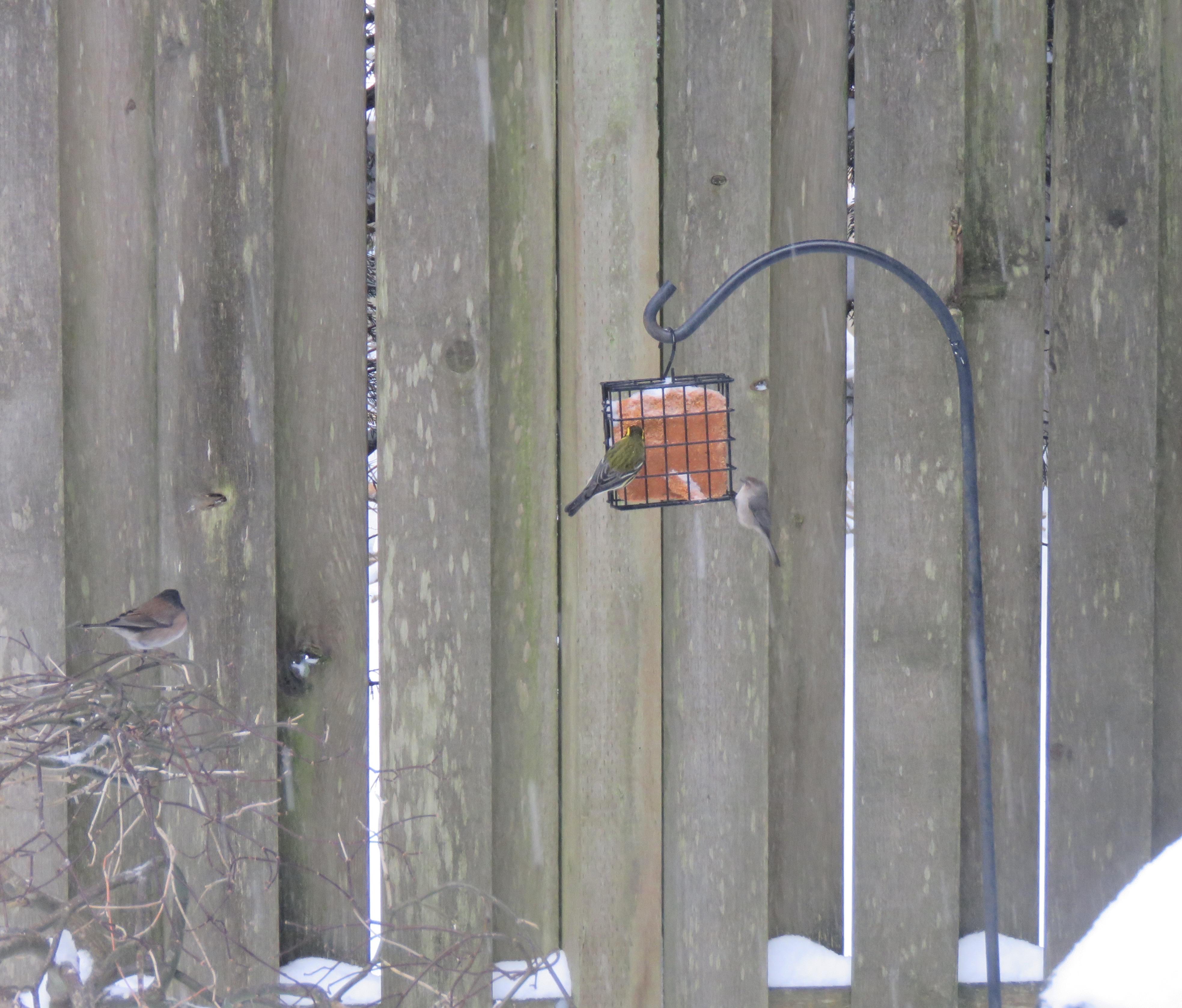 Warbler-wren-junco