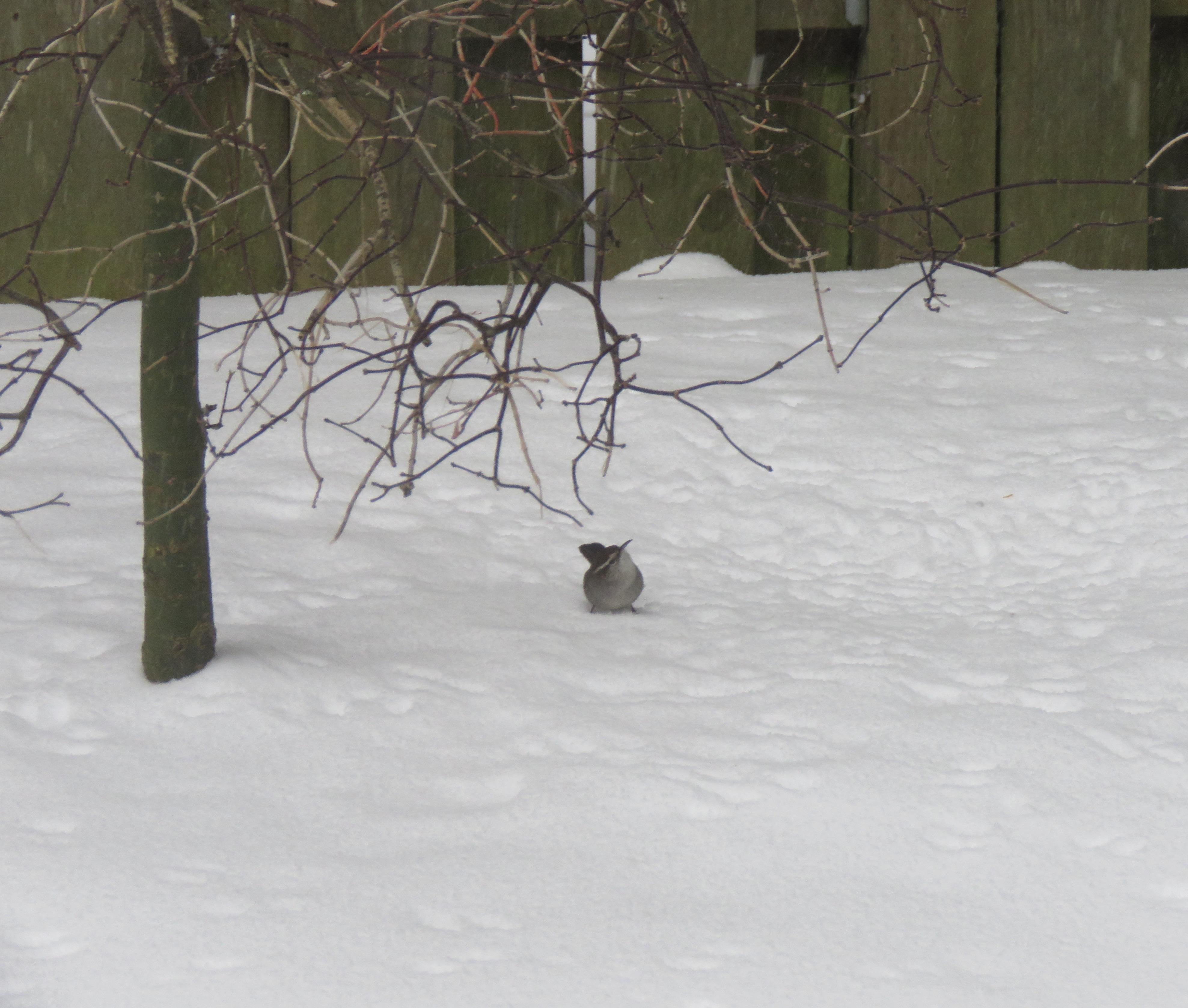 Wren-snow