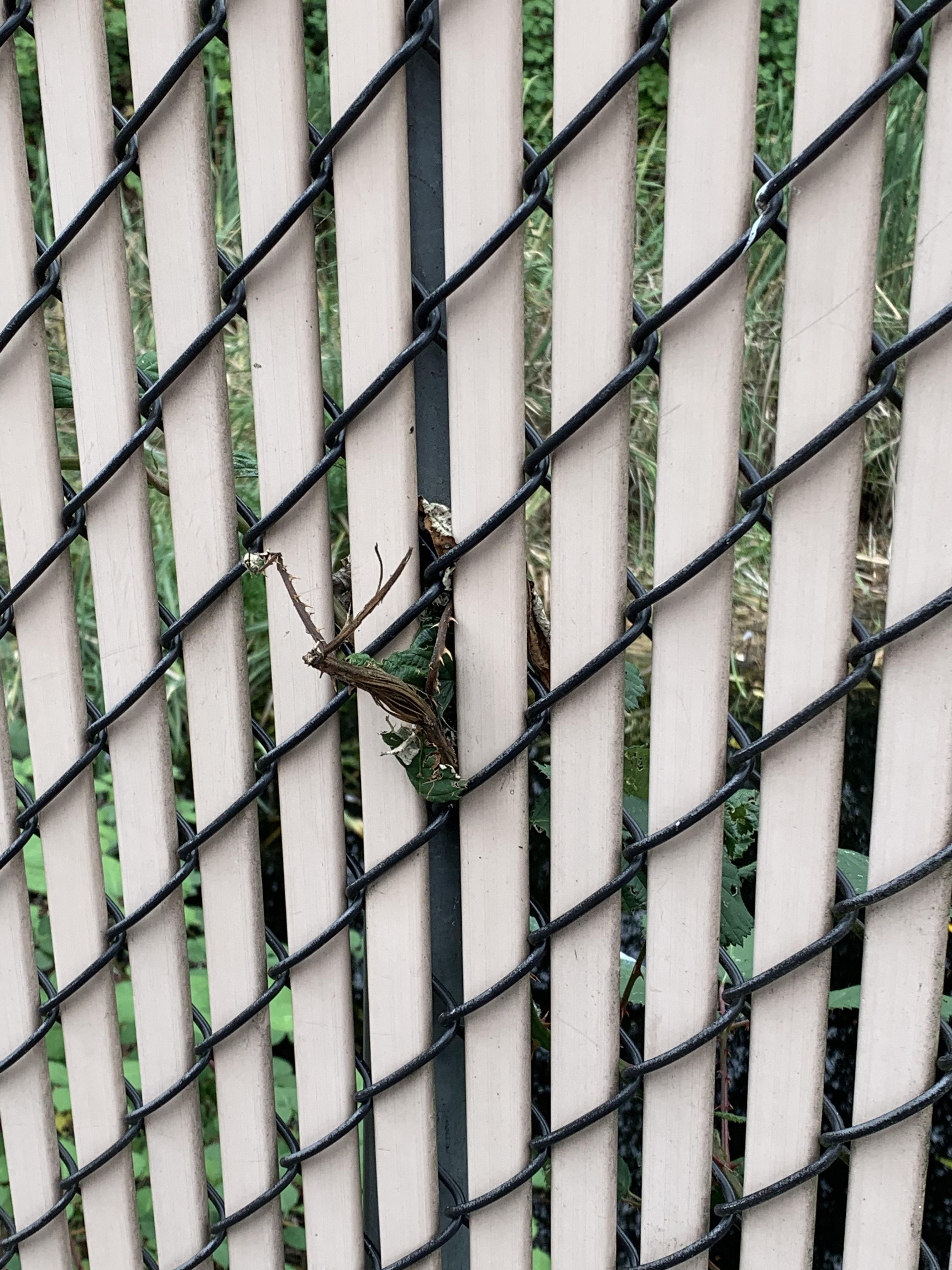 Fence-vine